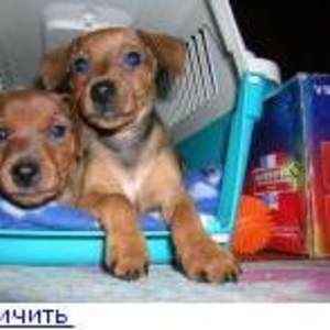 Продаются щенки цвергпинчера (миниатюрного пинчера)