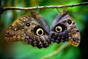 Высоко прпбыльный бизнес ферма Живых Тропических Бабочек  из Индонезии